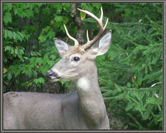 Non Typical Buck (glenda.suebee) Tags: ohio woods explore 427 buck whitetail glenda nontypical huntingseason