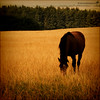 Brown horse in gold field