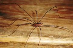 Daddy long legs (annabanana3977) Tags: daddy spider long legs creepy