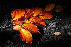 Autumn Contrasts (DerNetteAlex) Tags: autumn light shadow color tree fall nature contrast 35mm germany landscape deutschland leaf laub herbst natur spotlight explore blatt landschaft baum breathtaking beech tup buche colorkey blueribbonwinner bej nikon1855mm abigfave platinumphoto nikond40 theunforgettablepictures elitephotography goldstaraward breathtakinggoldaward