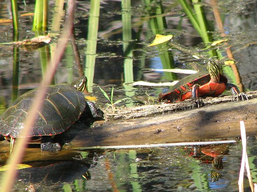Painted Turtles in Horicon, WI