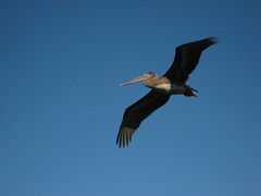 Marin Pelican IMG_1845 Photo