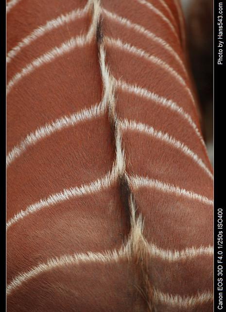斑哥羚羊_Bongo_07