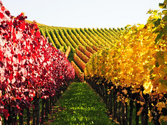 Vineyard (Habub3) Tags: travel autumn nature landscape photo vanishingpoint vineyard nikon landschaft weinberg d300 herbstfarben mywinners abigfave viewonblack colorphotoaward aplusphoto colourartaward goldstaraward natureselegantshots rubyphotographer panoramafotogrfico habub3