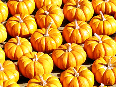 Attack of the Pumpkin Army (StGrundy) Tags: autumn atlanta shadow orange color fall gourds sunshine contrast georgia season pumpkin army miniature nikon pattern seasons bright pumpkins rows stems atlantabotanicalgarden highlight brilliant autumnal gettyimages repeating blazing d80