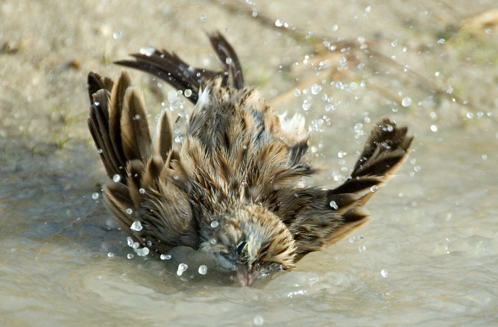Song  Sparrow bathing