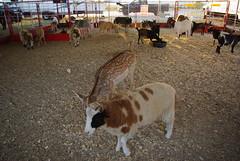 Austin State Fair - October 2008 (Magda of Austin) Tags: festival austin texas sheep statefair fair deer rides sealions dslr pettingzoo k200d pentaxk200d magdaofaustin