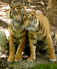Sisterly And Brotherly Love (ianmichaelthomas) Tags: friends zoo australia victoria tigers soe bigcats parkville predators smorgasbord royalmelbournezoo blueribbonwinner greatcats sumatrantigers animaladdiction specanimal goldenmix avisittothezoo impressedbeauty worldofanimals auselite naturewatcher wonderfulworldmix parkvillevictoriaaustralia endangeredanimals itsazoooutthere ianthomas bigcats avisittothezoo itsazoooutthere flickrlovers qualitypixels ilovemypics vosplusbellesphotos flickrbigcats wildcatworld flickrsbestcreatures