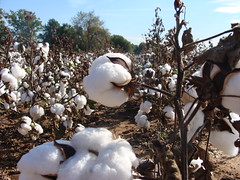 Mature cotton field, Cherokee County