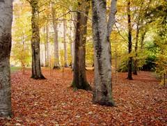 meeting place - explore 280! ('_ellen_') Tags: autumn ireland red irish orange tree green leaves forest golden rust trunks whenwordsdontexplain mysoulisinmyeyes anditsspeakingnowifyouwouldonlylook