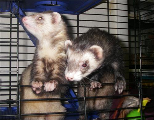 Ferret Boys