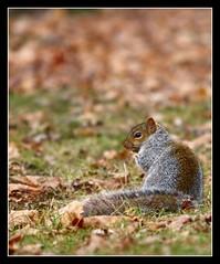 (FlicKoDr) Tags: squirrel cureuil