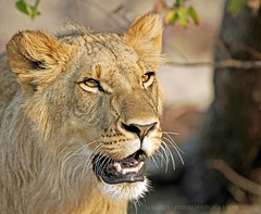 BABY LION 16 mesi... (peo pea) Tags: africa nature animals wildlife leoni lion lions zimbabwe re leone naturalmente peopea artofimages