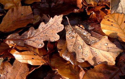 Droplets on oak leaves 15Nov08