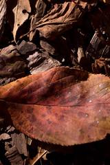 (torugatoru) Tags: wood autumn red black color yellow japan season tokyo leaf nikon shinjuku sigma ground      shinjukugyoen blown