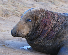 Battle scarred and weary (karenbyseashore) Tags: lincolnshire seals donnanook