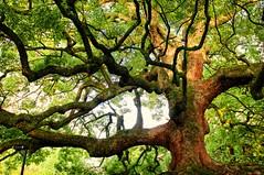 Centennial (dani.Co) Tags: old tree verde green japan forest centennial ancient woods nikon kyoto explore bosque árbol ent centenario d300 explored danico flickrenvy flickrdiamond
