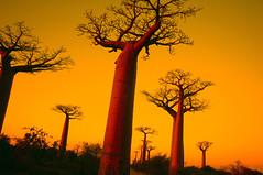 3.-baobab (Madagascar) (anthonyasael) Tags: africa sunset red night garden children child madagascar baobab hugetree baobaballey asael artinallofus treetreessunsetsunriseallyroadbignatureyellow anthonyasael