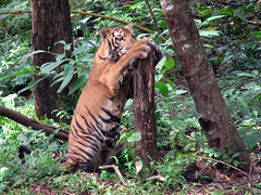 (Aithal's) Tags: playing giant woods tiger paws playful mangalore murali pilikula canons3 giantpaws aithal aithals