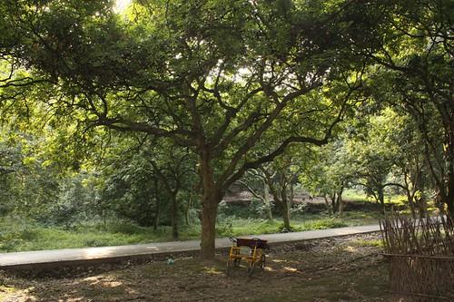 long yan trees (2)