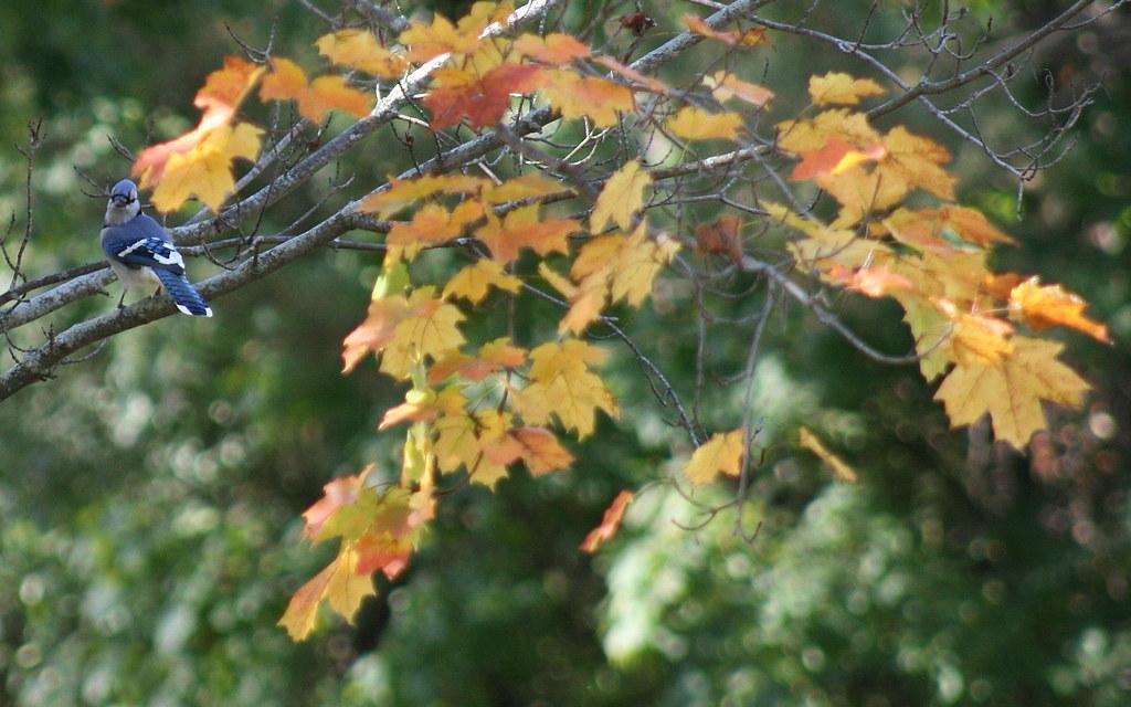 fall bluejay