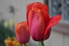 Tulip 316/365