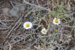 Small Wild flower (John Hardison, The Old Snake Wrangler) Tags: arizona smallwildflower minguswest