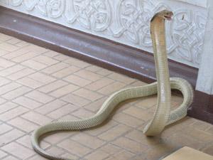Snake Show Bangkok