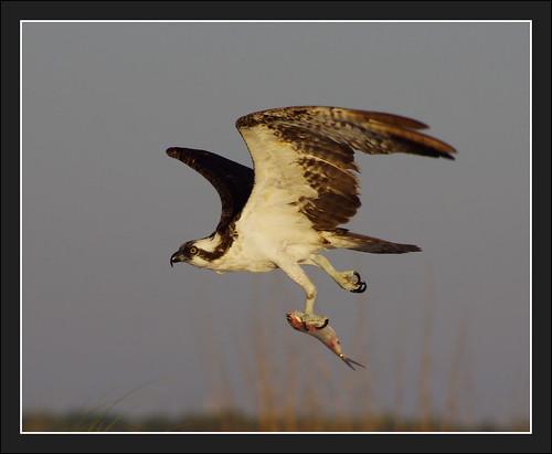Caladesi State Park Ospreys