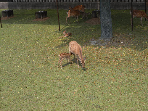 母子鹿の特別公開@鹿苑角きり場-08