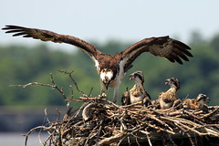 Female Osprey with Chicks