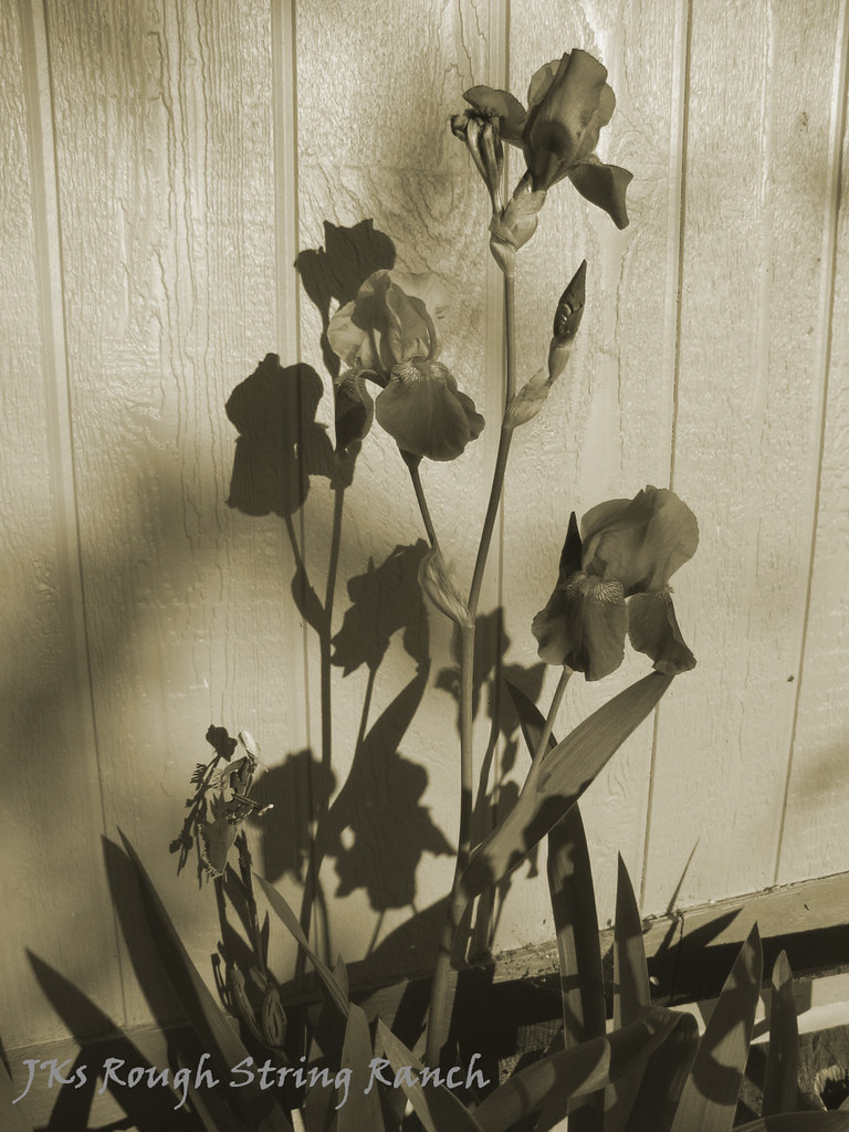 Morning Iris Shadows