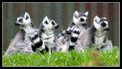 Family Portrait (Chris Gin) Tags: family newzealand portrait zoo auckland lemur nz supershot mywinners abigfave aplusphoto superbmasterpiece brillianteyejewel