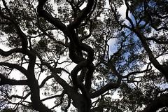 Morning Coffee (Thomas Hawk) Tags: california trees usa tree cemetery america oakland unitedstates branches cemetary unitedstatesofamerica eastbay mountainviewcemetery
