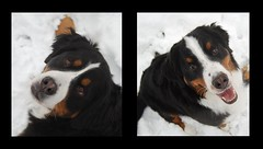 Loki and Thor collage Bernese Mountain Dogs