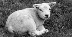 Spring started: a sweet little lamb (janloek) Tags: bw easter spring sheep little sweet thenetherlands lamb drente wapse startofspring