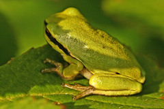 Voor Eelco!!!! (Dimormar!) Tags: groen achterhoek kikker zelhem boomkikker