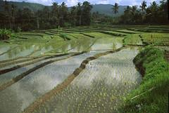 Bali (Indonesia) - Ricefield 4 ( V ) Tags: travel bali reflection indonesia asia southeastasia ric