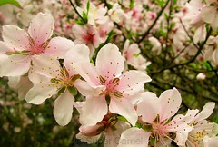 Pink plum blossoms (Chamelle Designs) Tags: china pink flowers trees green gardens garden cherry spring purple shanghai branches blossoms peach plum willow bunch bunches blossoming    shanghaiist springtime blooming