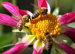 Sharing the pollen (suey_j) Tags: flower macro nature garden bees insects flowerfactoryadminfave challengeyouwinner beesbeesbeesadminfave