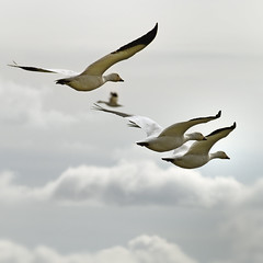 wrong way! (mcazadi) Tags: snow clouds geese bravo blueribbonwinner firstquality supershot