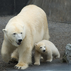 Wilbr 2 (iPhotograph) Tags: cute animal geotagged zoo cub stuttgart polarbear d2