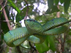 Bako National Park: pit viper (John Steedman) Tags: sarawak malaysia 馬來西亞 マレーシア