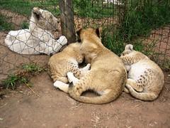 IMG_4477 (texasjr) Tags: lionpark