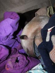 Lick grooming Stewie's jacket