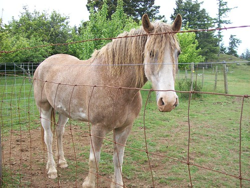 Native Curly Horse