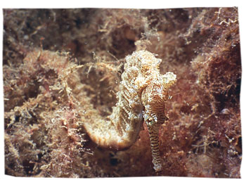 Seahorses (Photo by Kieran J Lee)