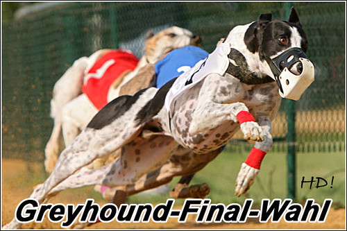 Greyhound-Final-Wahl-Blacky
