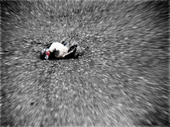 & . . . The End - ( Dead Crow ) (Mehrad.HM) Tags: motion dead death back zoom sony end crow h9     iranianpeople mehradhm httpwwwflickrcomgroupsiranianpeople groupsiranianpeople