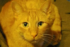The Color Orange (WOODSHED Revisited) Tags: orange pet wisconsin cat star ginger tabby kitty prairie tomcat oreengeness bestofcats catnipaddicts